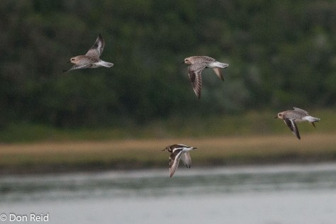 Grey Plovers and a Ruddy Turnstone
