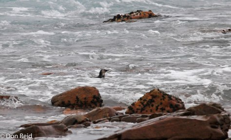 African Penguin at home in the rough sea
