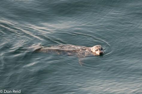 Harbour Seal, Victoria