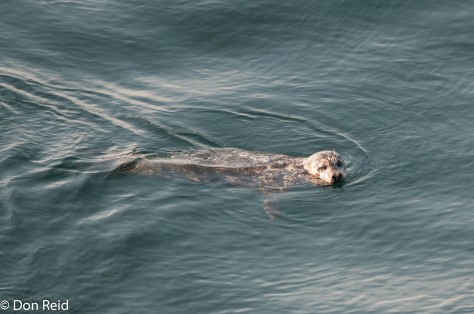 Harbour Seal, Victoria