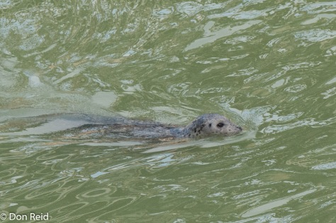 Harbour Seal, Skagway