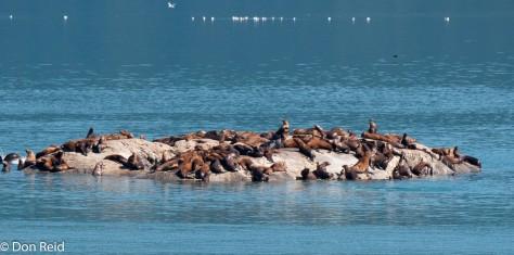 Harbour seals by the dozen
