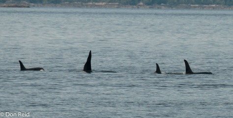 Orca Whales, Ketchikan
