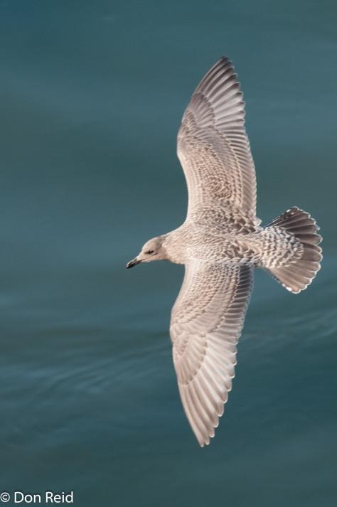 Glaucous-winged Gull (Juvenile), Inside Passage Alaska