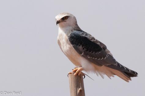 Black-shouldered Kite, Vlaklaagte