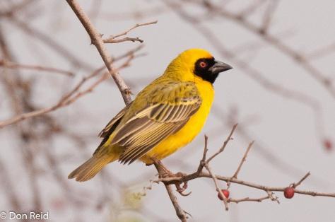 Southern Masked-Weaver, Potch area