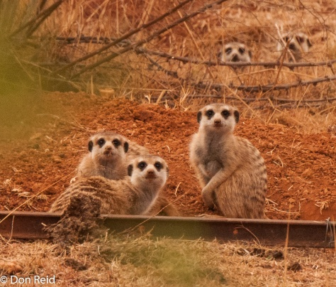 Suricate family, Potch area - very curious about my movements