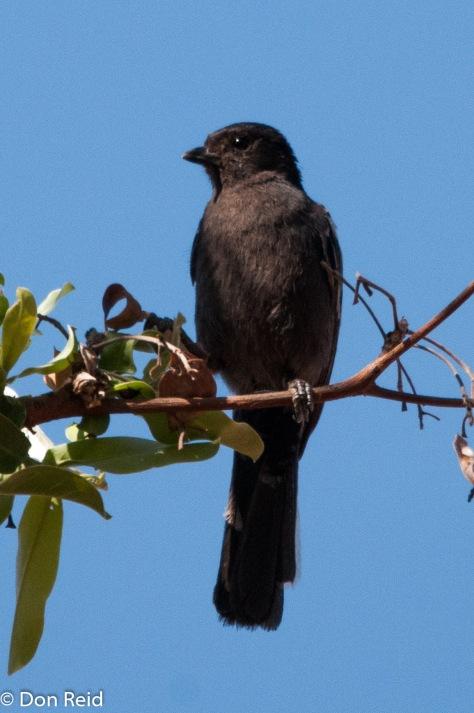 Southern Black Tit, Borakalalo NR