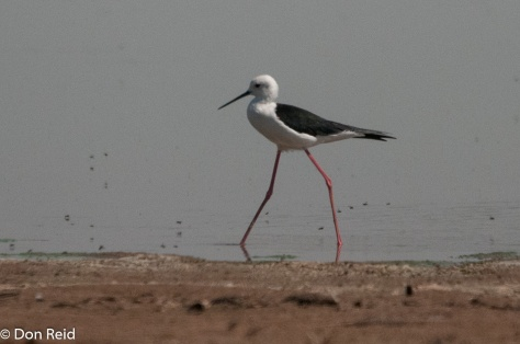 Black-winged Stilt, Borakalalo NR