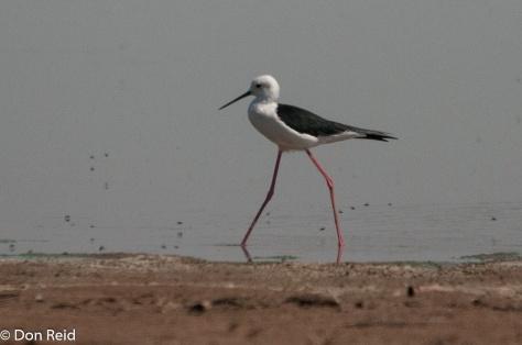 Black-winged Stilt, Borakalalo NR