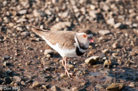 Three-banded Plover, Marievale Bird Sanctuary