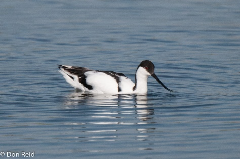 Pied Avocet, Marievale Bird Sanctuary