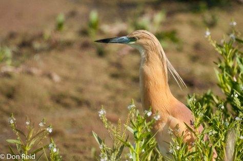 Squacco Heron, Marievale Bird Sanctuary