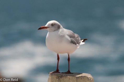 Grey-headed Gull, Mossel Bay