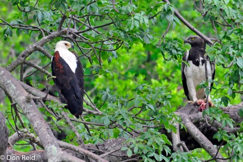 Fish-Eagle and Martial Eagle eye each other