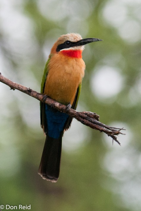 White-fronted Bee-Eater, Pafuri