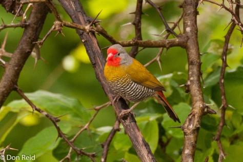 Green-winged Pytilia, Pafuri