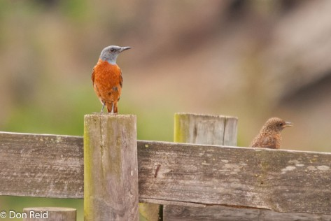 Cape Rock Thrush, Gouritz River