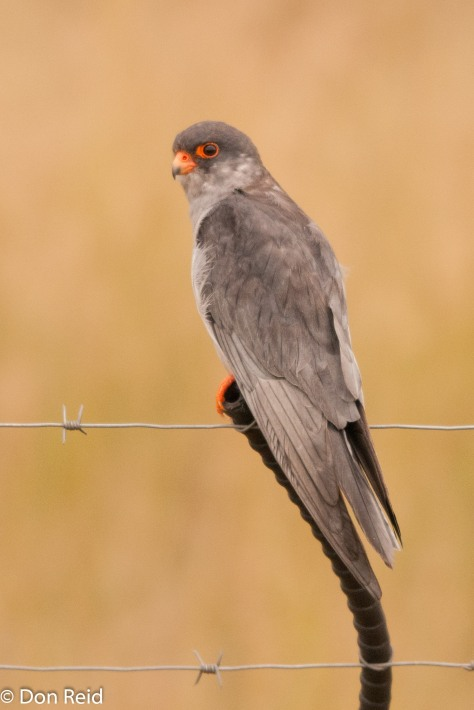 Amur Falcon, Devon