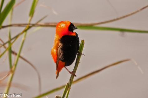 Red Bishop, Devon