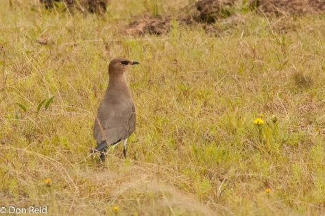 Black-winged Pratincole, Devon
