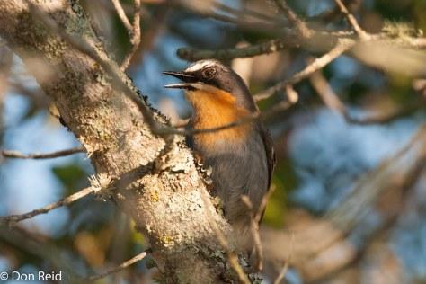 Cape Robin-Chat, De Hoop NR