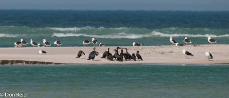 Cormorants and Gulls, De Mond NR