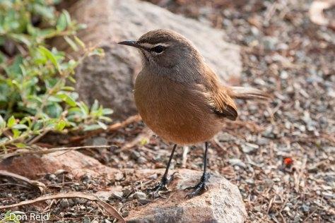 Karoo Scrub-Robin, Camdeboo NP