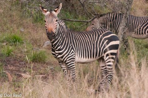 Mountain Zebra, in the Park created for them