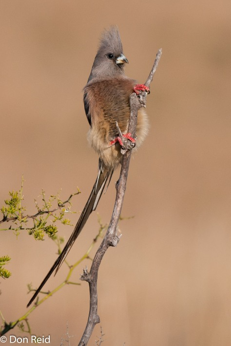 White-backed Mousebird, Mountain Zebra NP