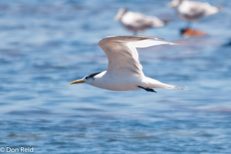 Swift Tern, Kommetjie