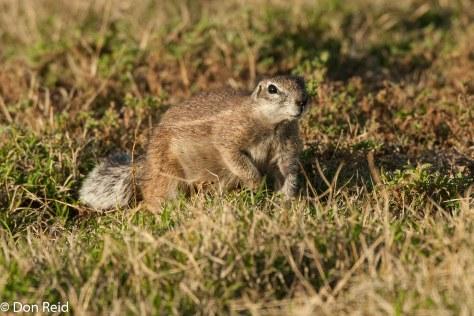Ground Squirrel (Xerus inauris), Mountain Zebra NP