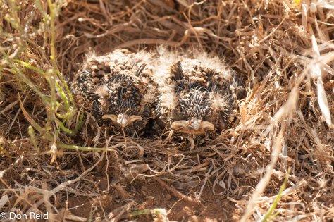 Spike-heeled Lark nestlings, Oudekraal guest farm