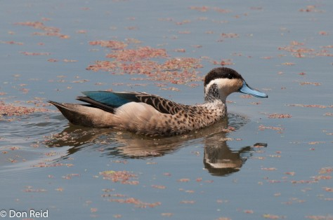 Hottentot Teal, Marievale Bird Sanctuary