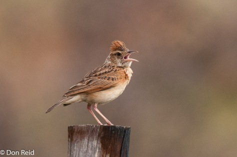 Rufous-naped Lark, Mkhombo area