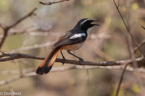 White-throated Robin-Chat, Mkhombo area