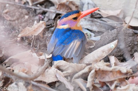 Pygmy Kingfisher looking dazed (apparently flew into the restaurant window at Punda Maria camp)