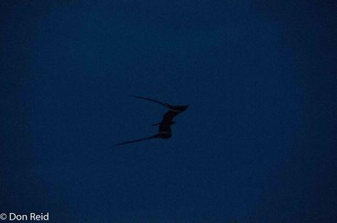 Pennant-winged Nightjar, Punda Maria