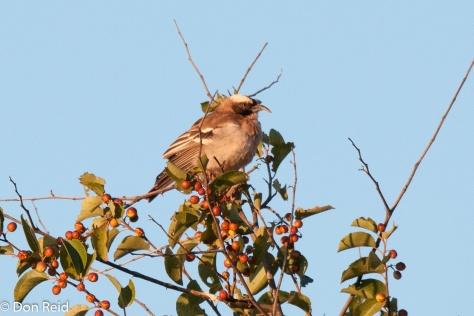 White-browed Sparrow-Weaver (deformed bill), Potchefstroom