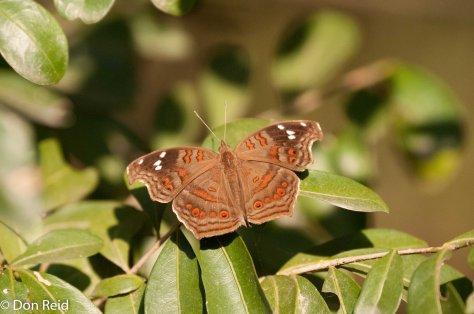 Brown Commodore (Junonia natalica natalica), Kenneth Stainbank NR