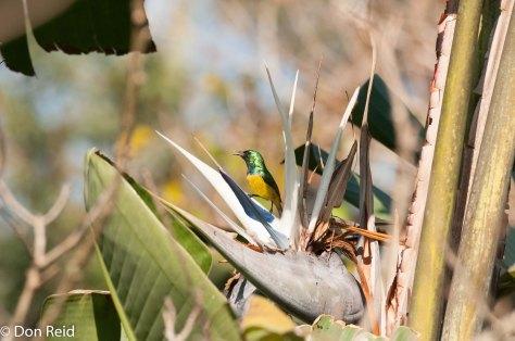 Collared Sunbird (Hedydipna Collaris), Kennethe Stainbank NR