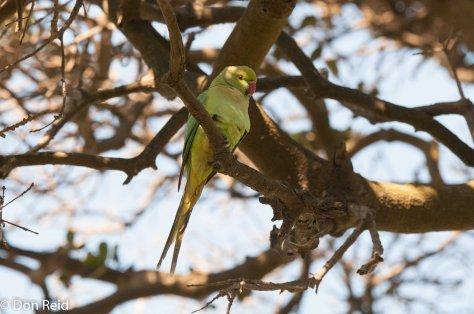 Rose-ringed Parakeet (Psittacula Krameri), La Lucia