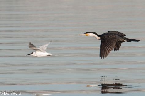 Sandwich Tern and White-breasted Cormorant, Durban Bayhead