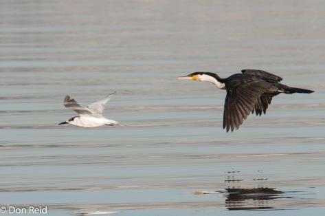 Sandwich Tern and White-breasted Cormorant, Durban Bayhead