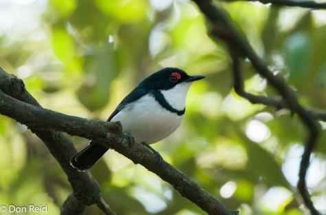 Black-throated Wattle-eye, Durban Bayhead mangroves