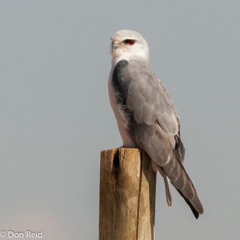 Black-shouldered Kite, Verena