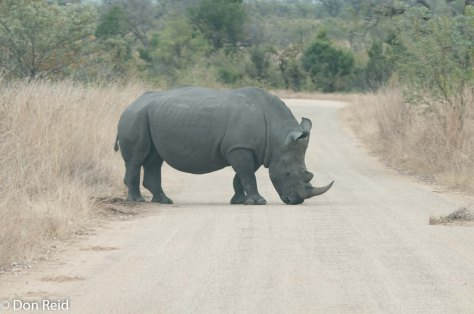 Rhino, Kruger NP