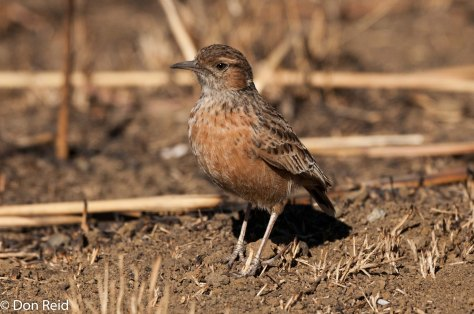 Spike-heeled Lark, Leandra