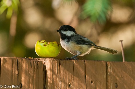 Black-capped Chickadee, Calgary