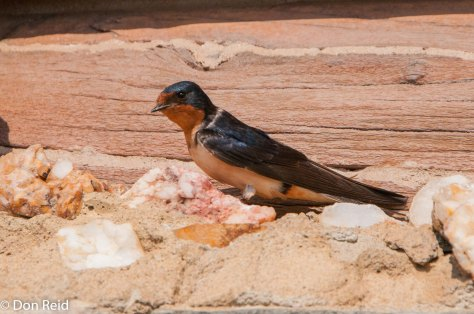 Barn Swallow (American) , Bow Lake Alberta